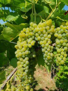 nederlandse wijn geluidswal ede wijngaard